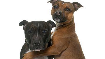 kaksi staffia, koirat