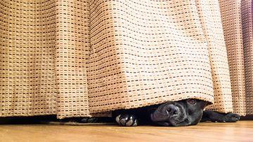 koira piilossa verhon alla