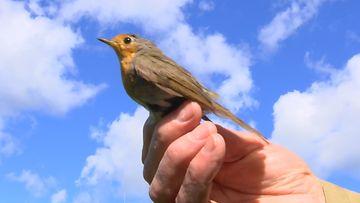 Punarinta, linnut