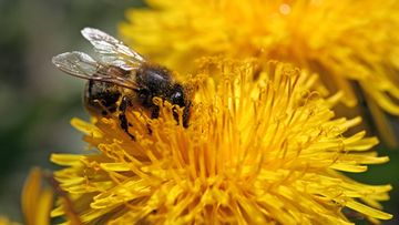 aop ampiainen kukka voikukka pörriäinen
