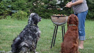 koira grilli