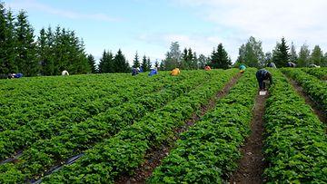 LK 220720 Marjatila mansikkatila kausityötekijät