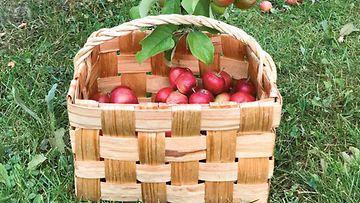 Omenat omenakori omena