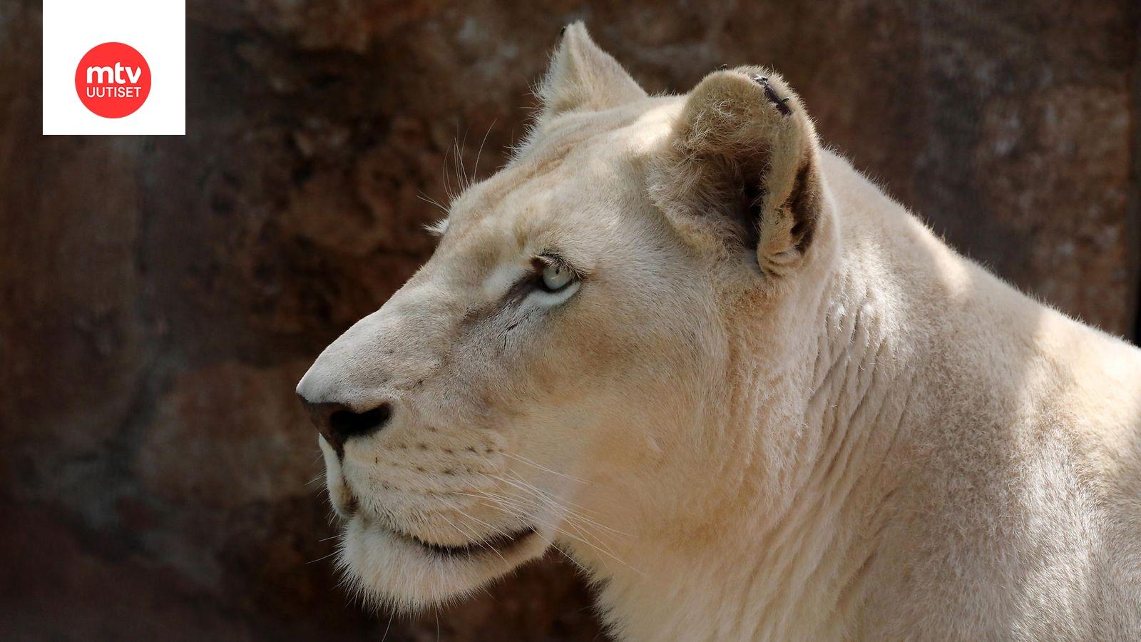 Leijona Mies
