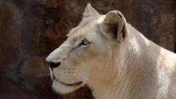 AOP valkoinen leijona kuvituskuva