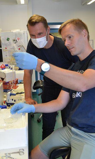 Tutkimusryhmä on käyttänyt aineistonaan hiiriä ja ihmisperäistä materiaalia. Pekka Katajisto (takana) seuraa, kun Nalle Pentinmikko valmistelee vanhasta hiirestä eristettyä ohutsuolta. (Kuva: Martti Ahlstén.)