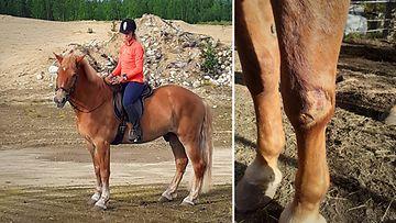 Hevosonnettomuus Ivalossa syksy 2020