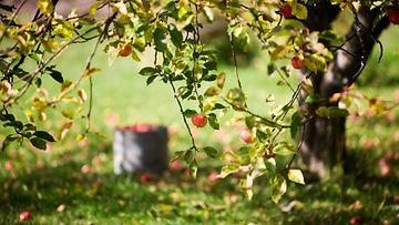 AOP, syksy, omenapuu, omena, puu