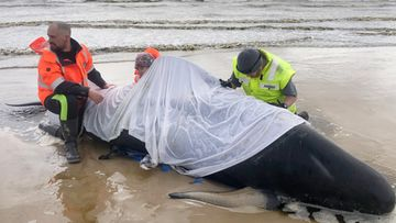 EPA Rannalle ajautuneita valaita pelastettiin Australiassa.