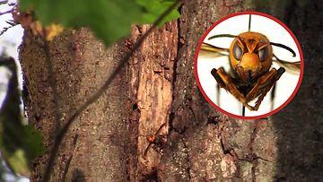 kiinanherhiläiset