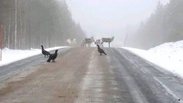 Metsoja ja poroja tiellä Savukoskella