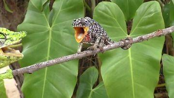 CNN ja Youtube: Kameleontti, kauan kadoksissa ollut