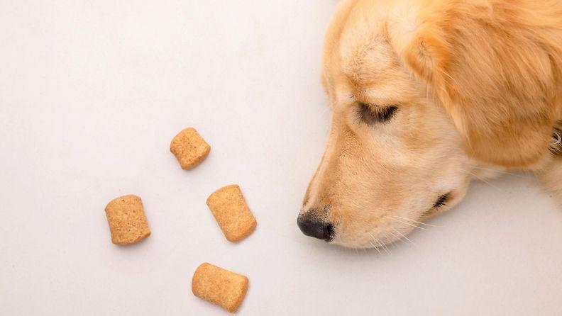 koira, herkku, kultainennoutaja