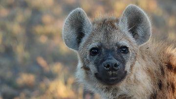 AOP hyeena