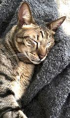 Sisu-kissa kolmikuisen karkureissunsa jälkeen 2