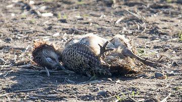 AOP fasaani kuollut lintuinfluenssa
