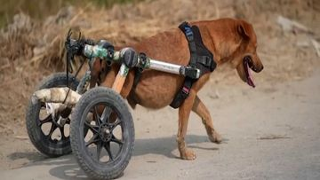 OMA: kulkukoira, koira, thaimaa, vammautunut koira