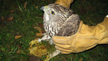 LK 19.2.2021 Huonokuntoinen kanahaukka vietiin Korkeasaaren villieläinsairaalaan.