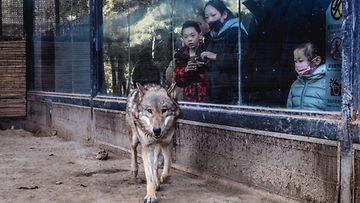Shutterstock eläintarha, susi