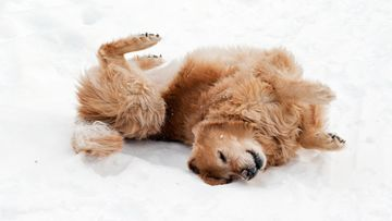 kultainennoutaja lumessa