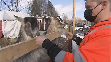 Yrittäjä Teemu Nikkasella on puutarhamyymälänsä yhteydessä myös pieni vuohiaitaus.