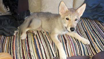 Koirasuden pentu istuu sohvalla räsymaton päällä