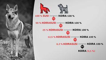 Grafiikka näyttää, miten koiran ja suden risteymät lasketaan prosentteina.