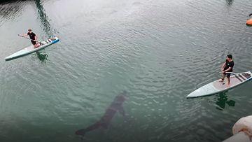 160421-verkkokuva-Jättiläishai ui pelottavan lähellä melojia – katso hetki pysäyttävältä videolta