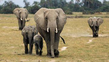 elefantit aop