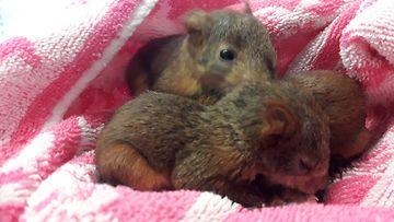 Oravanpoikasia
