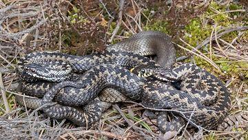 Kyyt ja rantakäärme, kuvaaja Lisse Tarnanen
