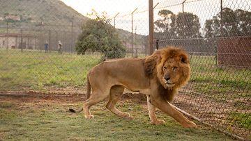 LK 2.5.2021 leijona