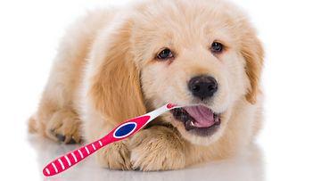 koira hampaiden harjaus