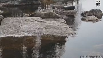 Saimaannorpat Siiri ja Pullervo köllöttelevät rantakivellä WWF:n norppalivessä.