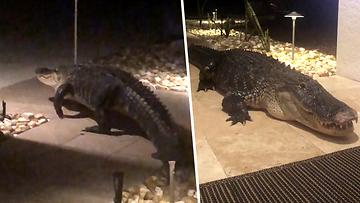 050521-VERKKO-Tätä kauhistuttavaa näkyä et halua kotiisi – valtavan alligaattori asteli lasioven taakse tuijottamaan sisälle uhkaavasti
