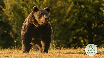 Ympäristöjärjestön luovuttama kuva Arthur-karhusta.