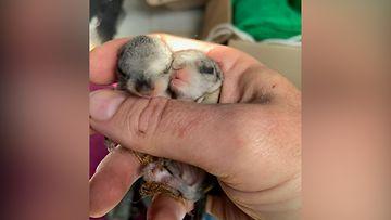 OMA: liito-orava, poikanen