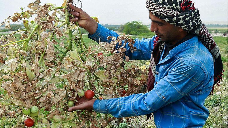 LK 17.5.2021 Jordanian kuivuus uhkaa myös tomaattisatoa