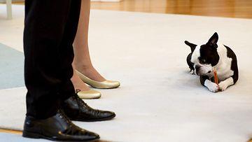 Lennu syö koiran herkkua presidenttiparin jaloissa joulutervehdysten vastaanotolla 2015.
