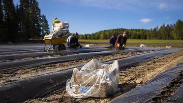 LK 24.5.2021 Venäläisiä ja ukrainalaisia kausityöläisiä istuttamassa mansikantaimia mansikkatilalla Suonenjoella 3. kesäkuuta 2020.