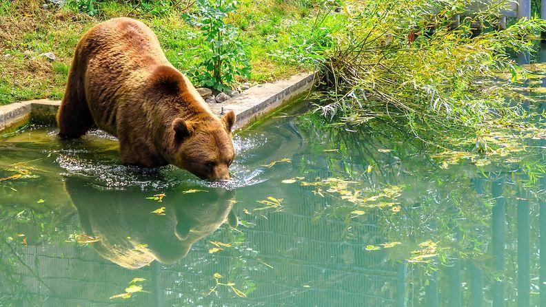 Kuvan karhu on kuvattu Bernissä, Sveitsissä.8196