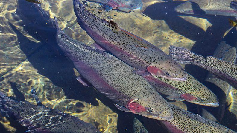 kalanviljelylaitoksen kirjolohi