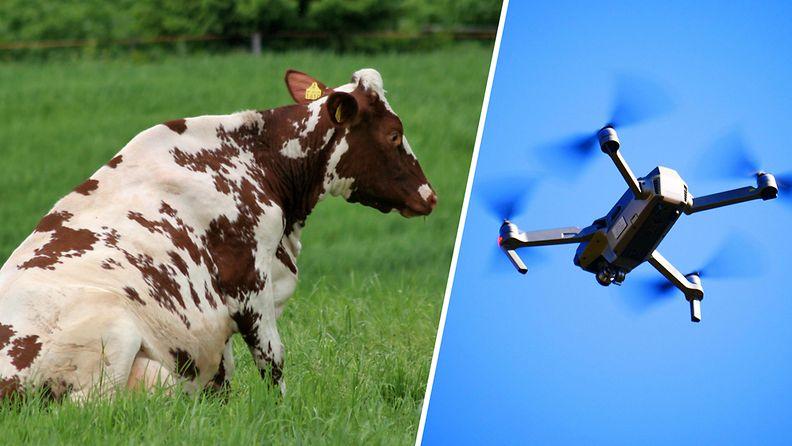 Kalajokilaakso: Pellolle päätynyt drone on tappanut jo kahdeksan lehmää Ylivieskassa