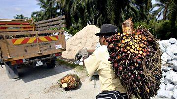 Palmuöljyplantaasilla työskentelevä henkilö kantaa öljypalmuterttua selässään ja kävelee kohti kuorma-autoa.