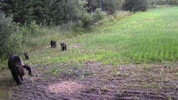 Karhut Joensuun alueella poliisi kuvaa 1