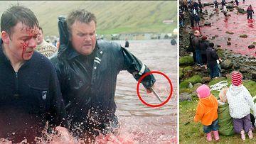 Valaiden raakalaismainen teurastus värjää Färsaaren rannat verenpunaiseksi vuosisatoja vanhassa perinteessä