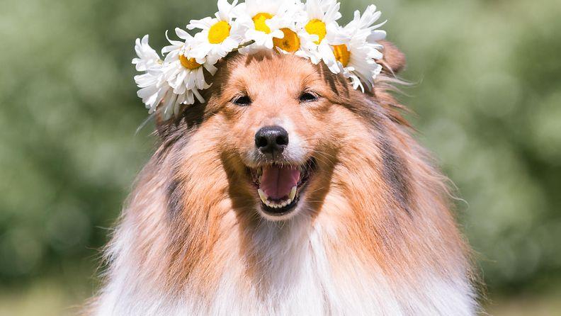 koira kukkaseppele päässään