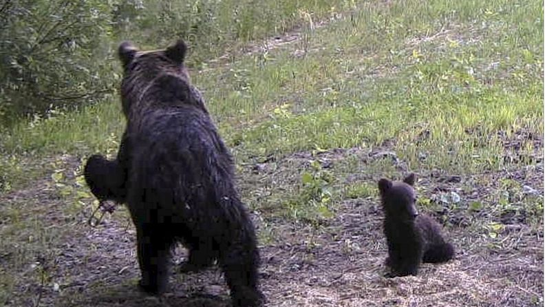 LK 22-7.2021 - karhu joensuu karhupentu