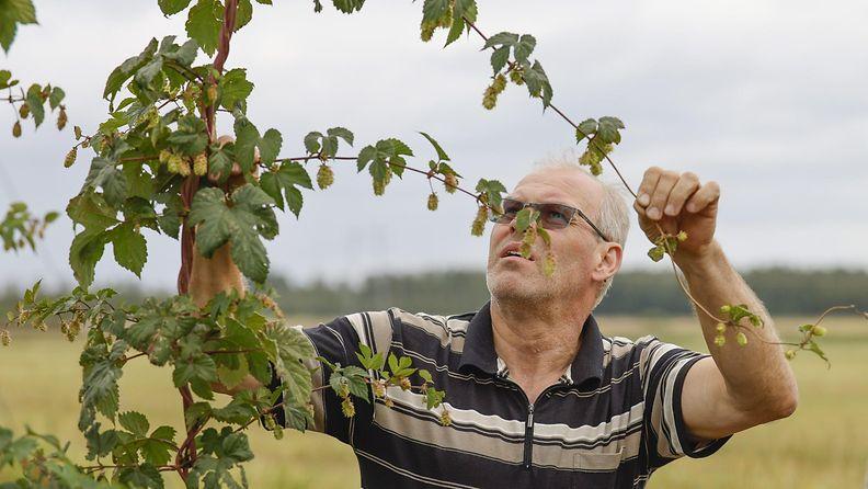 Humalaa viljelevä maanviljelijä Heikki Huhtanen humalakasvien joukossa.