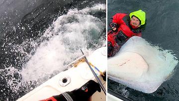 Kalastajaseuran ensikertalainen nappasi yli kahden metrin vonkaleen